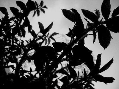 rose_mono.jpg
