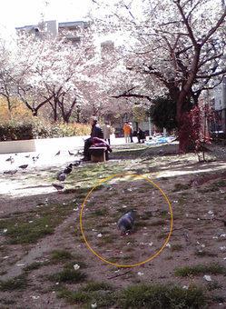 鳩は桜を喰う