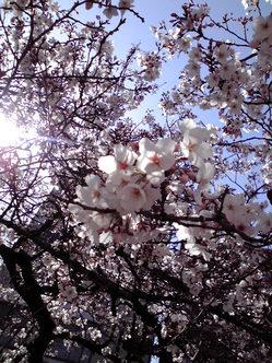 桜 2009年3月30日