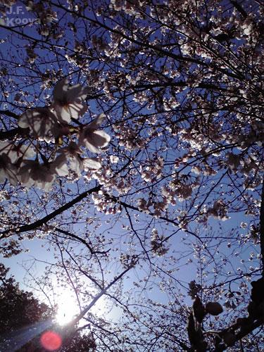桜_sakura2011_01