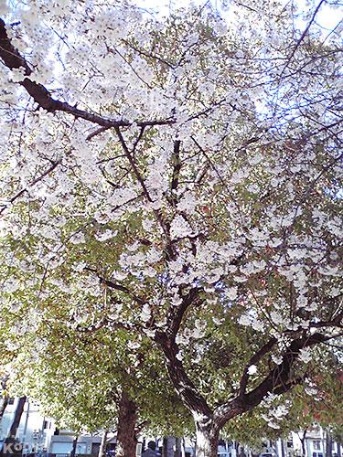 桜_sakura2011_02