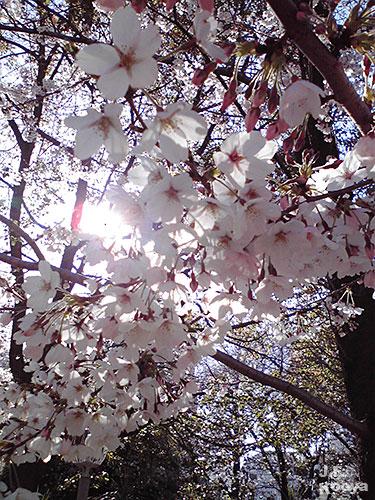 桜_sakura2011_03