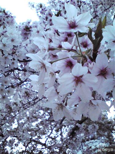 桜_sakura2011_04