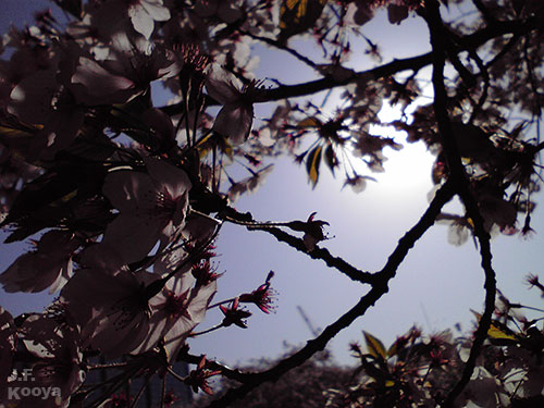 桜_sakura2011_05
