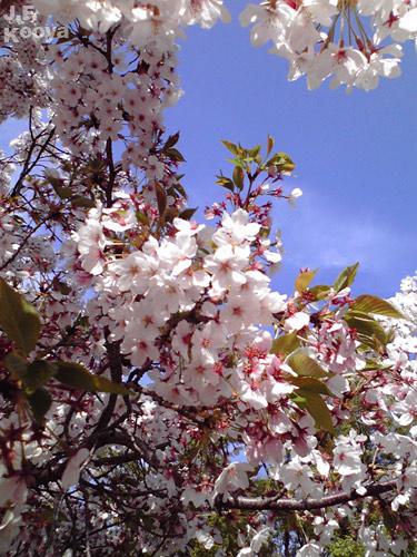桜_sakura2011_2_01