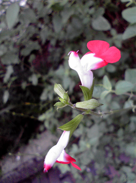 あのネズミに似てる花 by J.F.Kooya